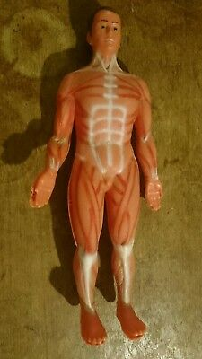 Vintage Human Skeleton and Muscle System Anatomy Biology Teaching Medical Model