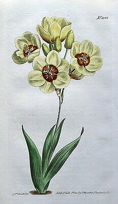 SPOTTED AFICAN CORN LILY South Africa Curtis Antique Botanical Print 1810