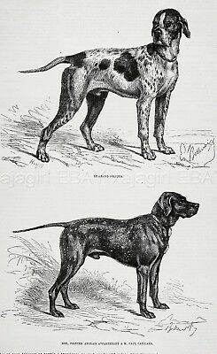 Dog English Pointer (Named, Owned ID) & Large French Pointer 1870s Antique Print