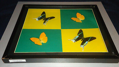 Wooden Framed Display 4 Real Butterflies (2each spec) Grn Yelw Color Under Glass