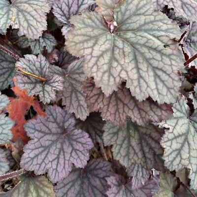 Coral Bells- Americana-Dale's Strain- 50 Seeds