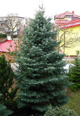 White Fir Abies Concolor Small 1 Year Old 6 Seedling Live Tree