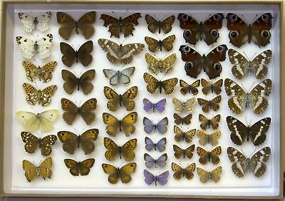 48 Mixed British Butterflies In A Sturdy Card  Box