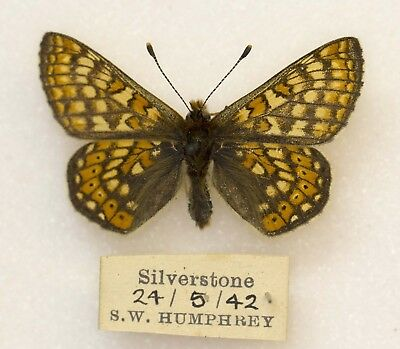 Marsh Fritillary - Silverstone, Extinct From This Site -  British Butterfly