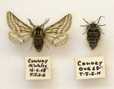 BELTED BEAUTY, Lycia zonaria  - A VERY NICE PAIR FROM WALES -  BRITISH MOTH