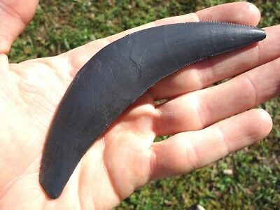 Scimitar-Toothed Cat Canine Tooth Cast ** Replica ** Florida Fossils Xenosmilus