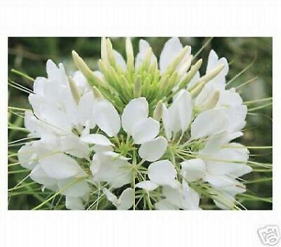 Cleome (Hassleriana )-White Queen- 100 Seeds