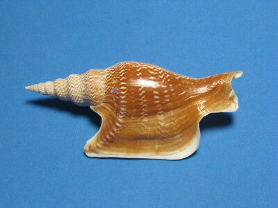 "Strombus listeri Gray, 1852 "" A CLASSIC COLLECTABLE!""  (122.4mm)"