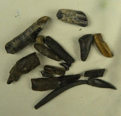 Group of Partial Fossil Whale Teeth From Florida