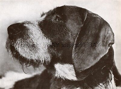 DOG German Wirehaired Pointer Deutsch Drahthaar Vorstehhund Portrait 1930s Print