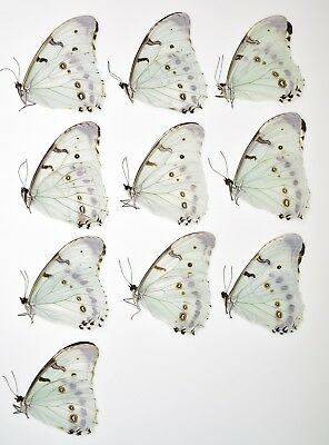10 Real Butterfly White Morpho Luna Unmounted Wings Closed A1+ Fresh Mexico