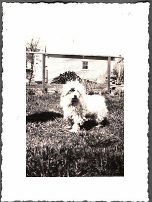 Vintage St Albans Long Island New York West Highland White Terrier Dog Pup Photo