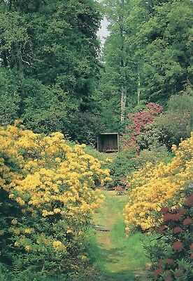 Coldstream: The Hirsel : Coldstream :Azaleas in Dundock Wood