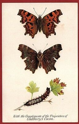 Cadbury's Cocoa Butterfly And Moth Reward Cards 1910    THE COMA BUTTERFLY