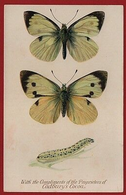 Cadbury's Cocoa Butterfly & Moth Reward Cards   1910    LARGE WHITE BUTTERFLY