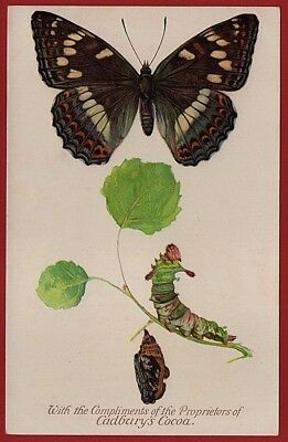 Cadbury's Cocoa Butterfly & Moth Reward Cards 1910   THE POPLAR BUTTERFLY