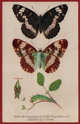 Cadbury's Cocoa Butterfly & Moth Reward Cards 1910 THE WHITE ADMIRAL BUTTERFLY