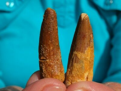 """Pair of Spinosaurus Dinosaur Teeth Fossils from Morocco 1.35"""" Inches"""