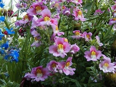 Butterfly Orchid Flower- Angel Wings-Schizanthus - Mix colors-100 Seeds
