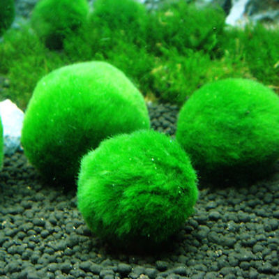 4cm Marimo Moss Balls Live Aquarium Plant Algae Fish Shrimp Tank Ornament  DC157