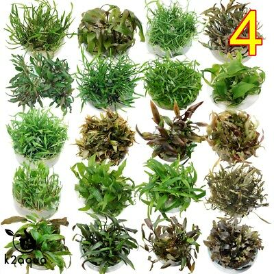 Live Aquarium Plants - Cryptocoryne - IN VITRO 4 Aquatic Tropical Fish  InVitro