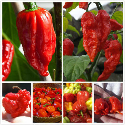 Hot Red Ghost Chilli Seed, Bhut Jolokia Hot Pepper Seeds, 100% Genuine