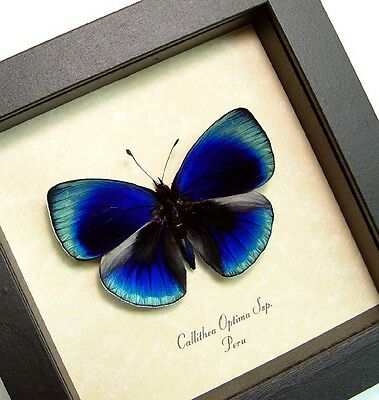 Real Framed Callithea Optima Bright BlueTropical Butterfly 819D