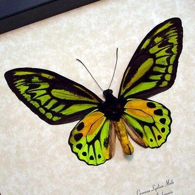 Real Framed Ornithoptera Croesus Lydius Male Verso  Birdwing Butterfly 833V