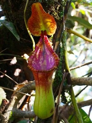 Nepenthes x trusmadiensis Seed Pod / 2000m Trusmadi (16th of December)