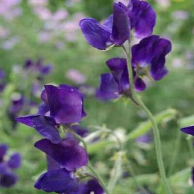 Sweet Pea- Royal Navy Blue- (Lathyrus Odoratus)- 15 Seeds -