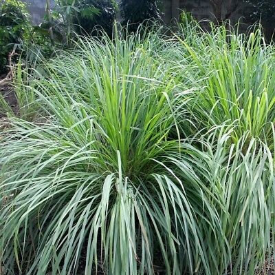 Lemon Grass- (Cymbopogon flexuosus)- 25 Seeds