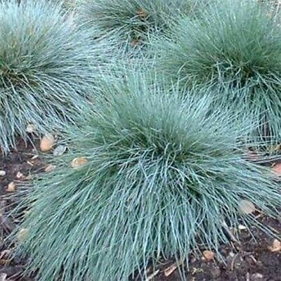 Blue Fescue (Festuca cinerea glauca Varna) 100 Seeds -