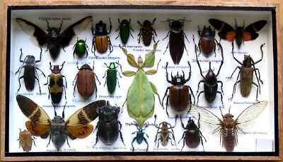 23 Real Beetle Boxed Rare Insect Display PHYLLIUM Taxidermy Entomology Zoology