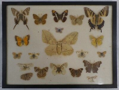 """Vtg Real Moth/Butterfly Collection, Glass Framed Taxidermy 16"""" x 12"""", Lot of 19"""