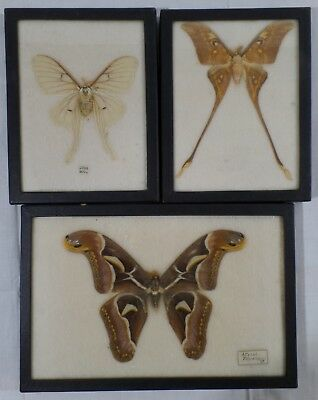 Vintage Real Moth Collection, Glass Framed Taxidermy, Attacus, Luna, Lot of 3