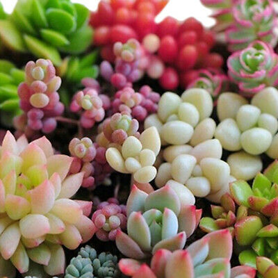 80 Pcs Mixed Succulent Seeds Lithops Rare Living Stones Plants Cactus Home Plant