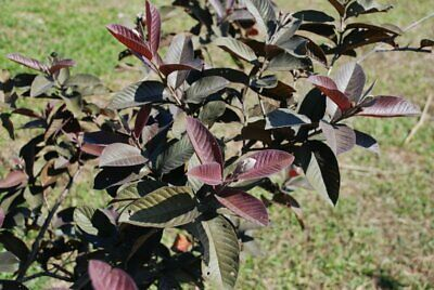 Variegated guava plant seeds Unique with the sweetest fruit, Rare -20 seed