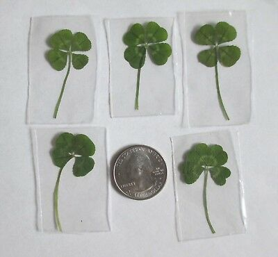 5Real 4 Leaf Clovers- New Year 5 pack (Genuine Four Leaf Clovers)