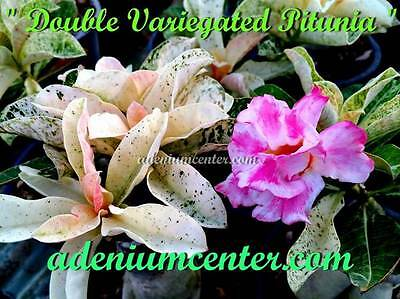 "ADENIUM OBESUM DESERT ROSE "" DOUBLE VARIEGATED PITUNIA "" 20 seeds New HYBRID"