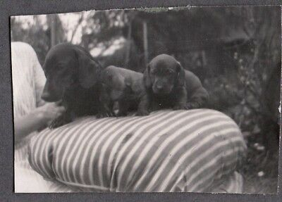 Vintage Photograph 1920-30S Dachshund Wiener Dogs Puppy London England Old Photo