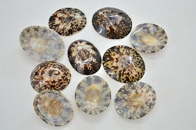 "10 Pcs Oval Brown Polished Limpet Sea Shell Craft 1 1/2"" - 2"" #7623"