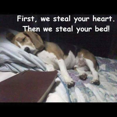 Funny Beagle First,we steal your heart refrigerator magnet Size 2_X_3