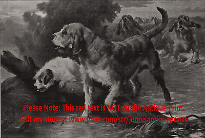 Dog Otterhound Pack Hunting Otters, Rare View 1890s Antique Print & Article