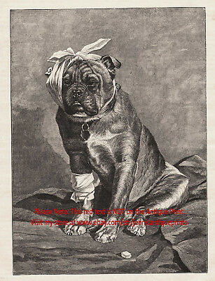 Veterinary Bandaged Wounded Bulldog Dog Veterinarian, Large 1890s Antique Print