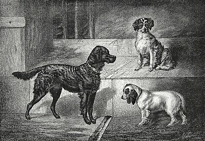 Dog Gordon Setter, English Springer Spaniel & Sussex, Large 1870s Antique Print