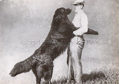 DOG Newfoundland Giant Dog Greets Owner, Vintage Print 1930s