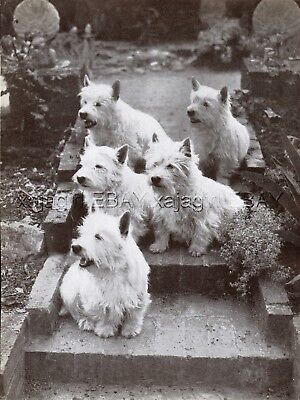 DOG West Highland Terrier Westie Pack of Five Portrait, Vintage Print 1930s