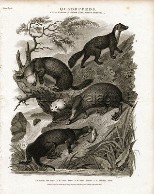 Otter, Martin, Sable, Rare Antique 1820 Steel Engraving Print
