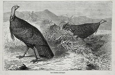 Wild Turkey Brood & Young Poult or Chick, 1870s Antique Engraving Print