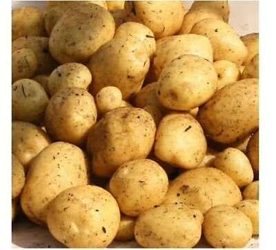 CONSTANCE Second Early Seed Potatoes -  Buttery Taste, Smooth Texture